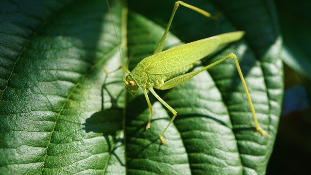 daur hidup belalang
